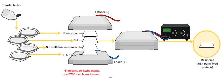 Western Blot采用的是聚丙烯酰胺凝胶电泳,被检测物是蛋白质,探针是抗体,显色用标记的二抗。SDS-PAGE可对蛋白质样品进行分离,转移到固相载体例如硝酸纤维素薄膜(NC)上。固相载体可以吸附蛋白质,并保持电泳分离的多肽类型及其生物学活性不变。转移后的NC膜就称为一个印迹(blot),用蛋白溶液(如5%BSA或脱脂奶粉溶液)处理,封闭NC膜上的疏水结合位点。用目标蛋白的抗体(一抗)处理NC膜只有待研究的蛋白质才能与一抗特异结合形成抗原抗体复合物,这样清洗除去未结合的一抗后,只有在目标