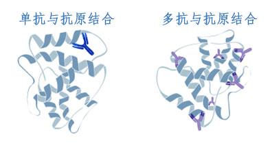 单克隆抗体与多克隆抗体与抗原结合对比