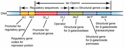 乳糖操纵子结构基因