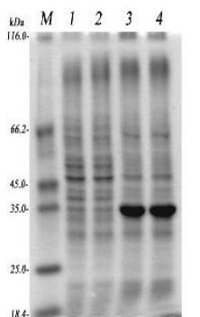 可溶蛋白表达案例一