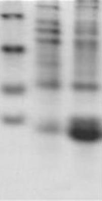 可溶蛋白表达案例二