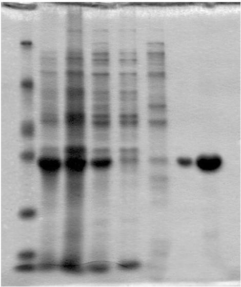 可溶蛋白表达案例四