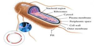 大肠杆菌蛋白表达系统组成