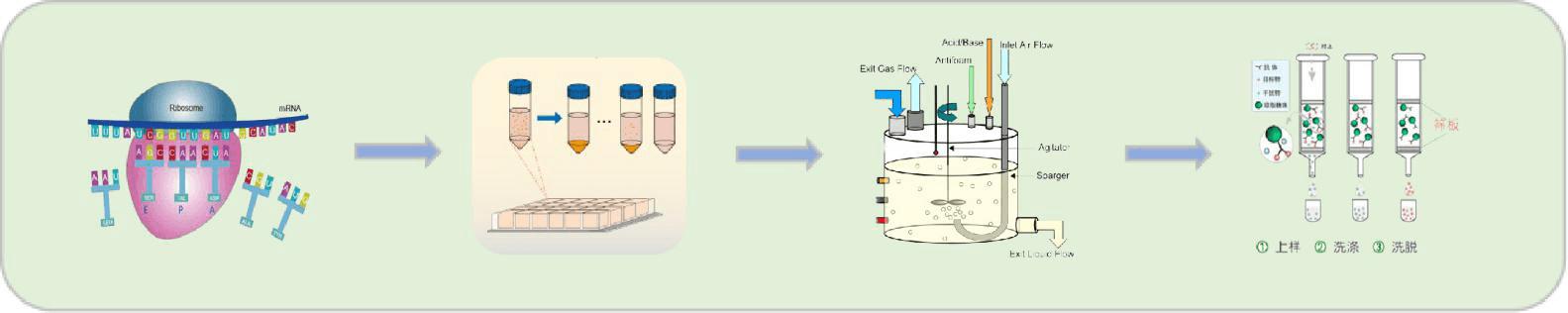 蛋白发酵大规模制备流程