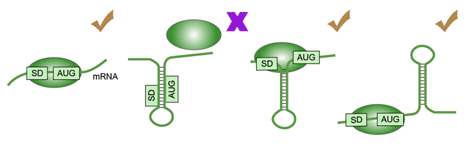 mrna-secondary-structure
