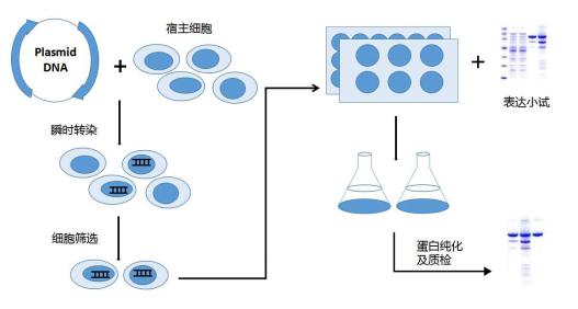 哺乳动物细胞瞬时转染实验流程图