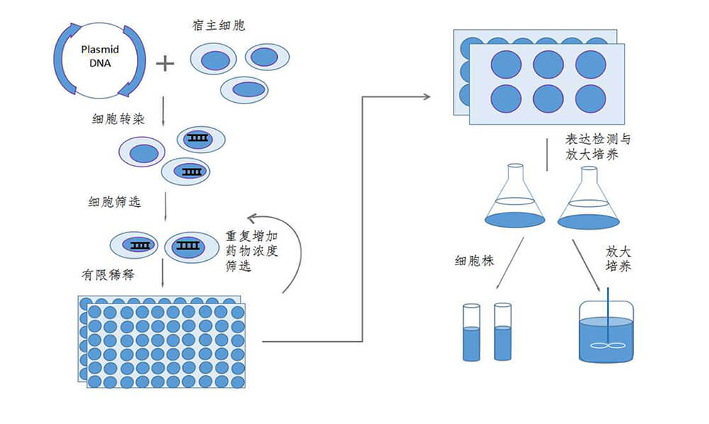 稳定细胞系构建