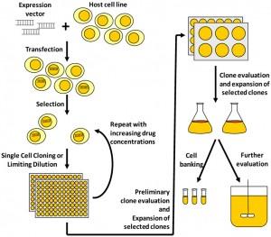 哺乳动物细胞稳转株构建流程