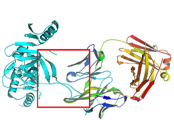蛋白和抗体Fab片段相互作用