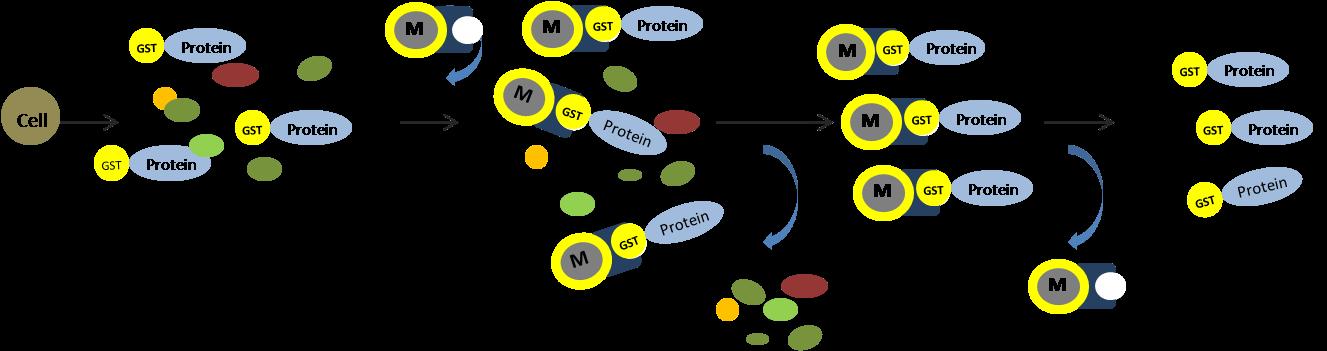 GST蛋白纯化流程