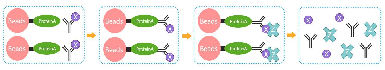 免疫共沉淀实验流程