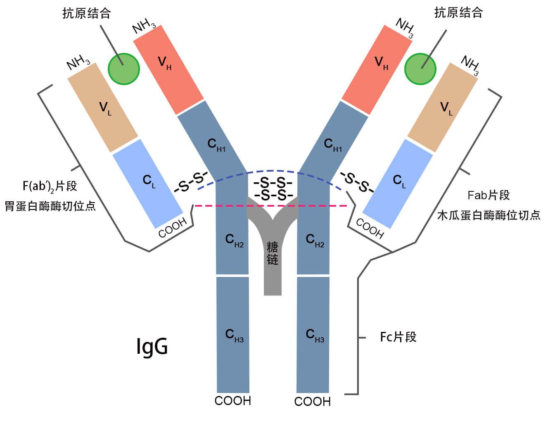 IgG抗体结构