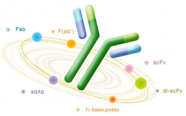 重组抗体-2