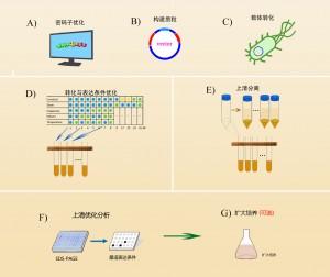 德泰蛋白表达上清优化型服务流程