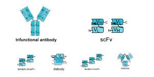 scFv结构图