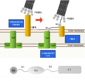 PⅢ蛋白结构域
