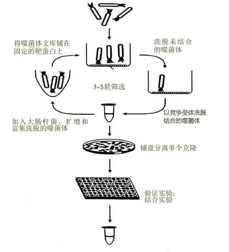 噬菌体展示技术筛选流程