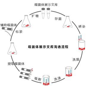 噬菌体文库淘选流程