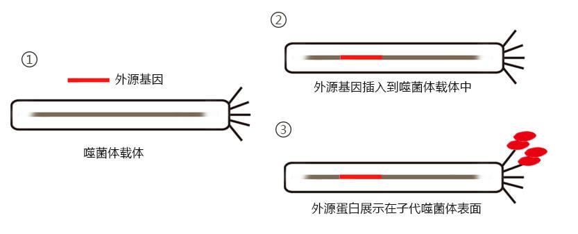 噬菌体展示原理