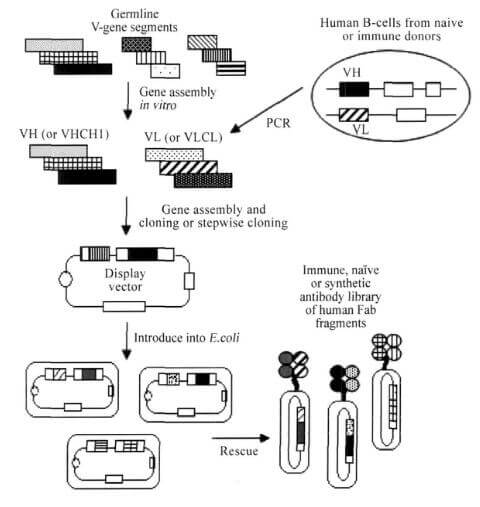 噬菌体展示文库构建流程