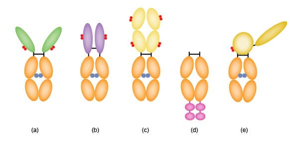Fc融合蛋白的结构